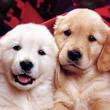 Cãezinhos