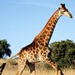 Girafas Mensagens e Frases