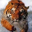 Tigres Mensagens e Frases