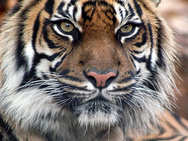 Tigres Imagem 8