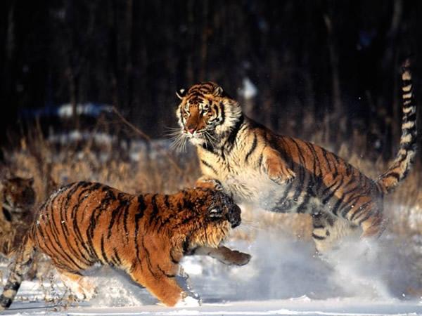 Tigres Imagem 10