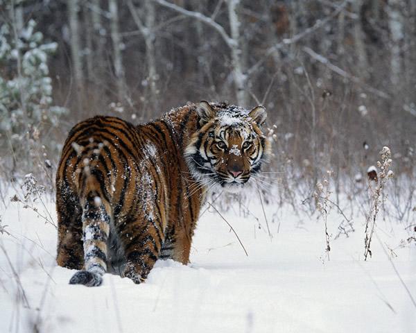 Tigres imagem 1