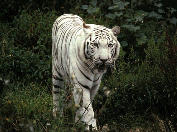 Tigres imagem 4