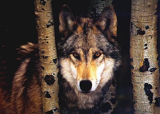 Lobos Imagem 1
