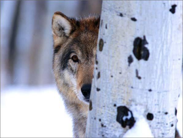 Lobos imagem 8