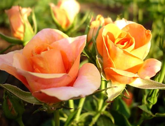 Rosas Imagem 9