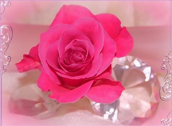 Rosas Imagem 7