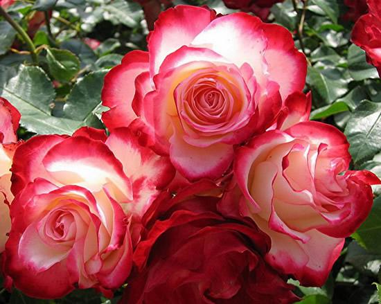 Rosas Imagem