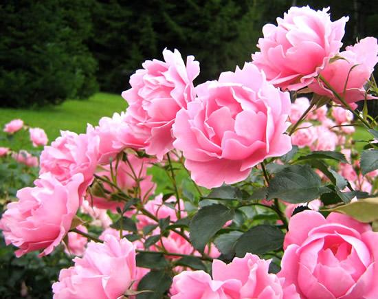 Rosas imagem 10