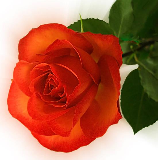 Rosas imagem 3